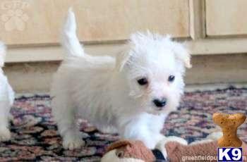 Wee-Chon (West Highland White Terrier X Bichon Frise)