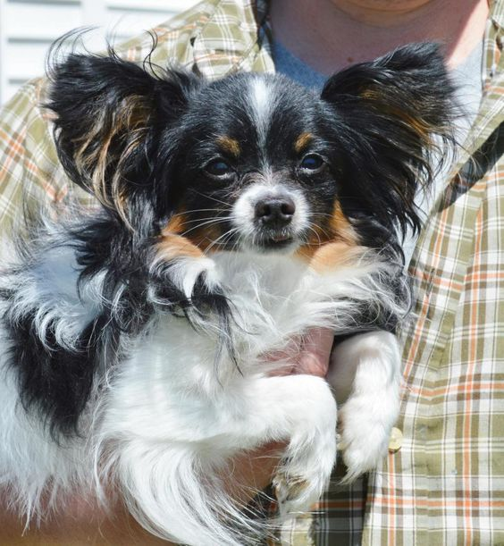 Meet+Finn,+a+Petfinder+adoptable+Papillon+Dog+|+Poland,+IN+|+**Please+send+us+an+email+in+addition+to+your+application!!**Finn+is+a+teeny+tiny+Papillon!!++He+is...