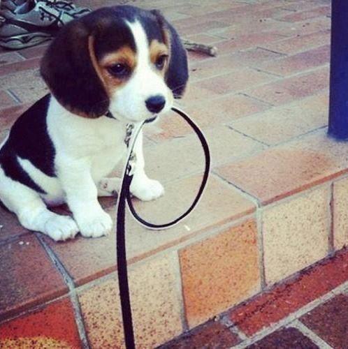 Filhotinho de Beagle com a guia na boca pronto pra passear: