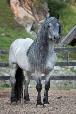 Noriker stallion Merlin Nero XV ...beautiful