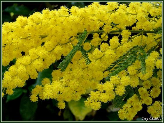 I love Mimosa. The fragrant little yellow balls have a wonderful smell. Its also a symbol of immortality and resurrection.