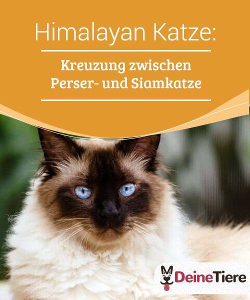 Himalayan Katze Kreuzung Zwischen Perser Und Siamkatze My Animals Siam Katzchen Katzen Siamkatze