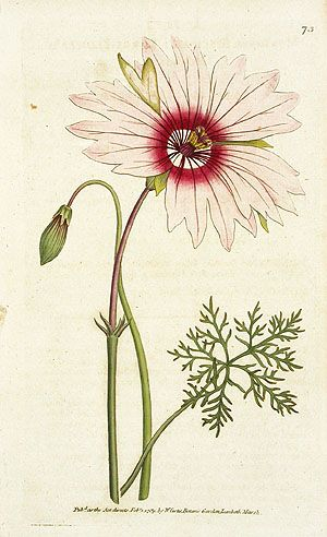 Monsonia grandiflora from Curtis Botanical Magazine Prints from the First Six Volumes 1787