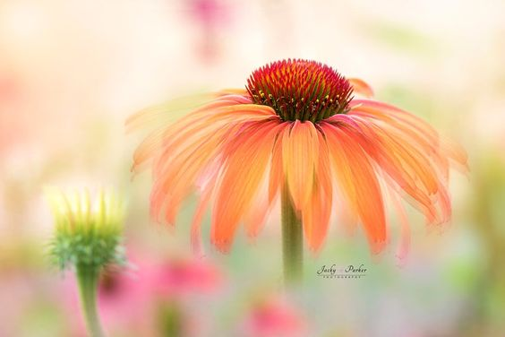 Echinacea Hot Summer by Jacky Parker - Photo 191580991 / 500px