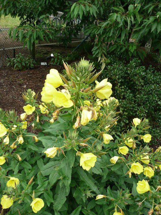 Leuchtend gelbe, mit toller Blüte