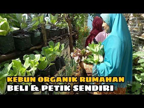 Video Kebun Singkong