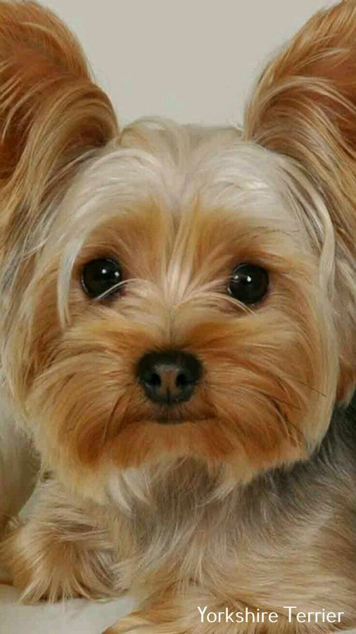 Yorkie Haircut Male Yorkshire Terrier Male Yorkie Haircut In 2020 Yorkie Haircuts Yorkshire Terrier Yorkshire Terrier Dog