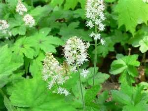 """Tiarella cordifolia - ( Foamflower ) Part Used: Leaves, Root.  Medicinal Properties: Am. Indians used leaf tea as mouthwash for """"white coated tongue,"""" mouth sores, eye ailments; considered tonic, diuretic. Root tea a diuretic; used for diarrhea; poultice on wounds."""