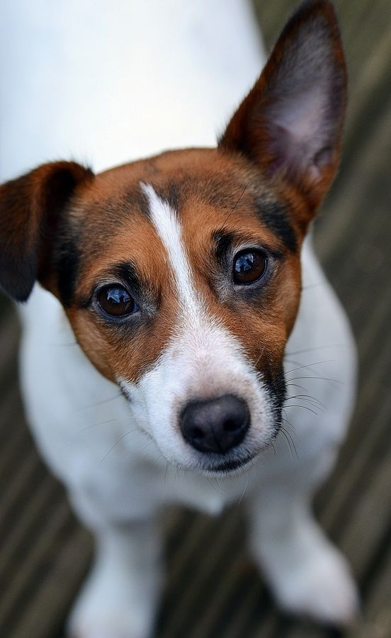 16 Reasons Jack Russells Are Not The Friendly Dogs Everyone Says They Are: