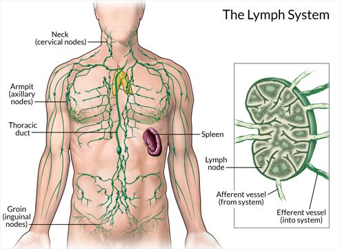 Image Result For Lymphatic System Diagram Lymphatic System Diagram Lymph System Lymphatic System
