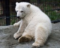 Qannik was born in January 2011 and rescued on Alaska's North Slope in April. She took up temporary residence at the Alaska Zoo before moving to her permanent home in Louisville in June 2011.  http://www.louisvillezoo.org/glacierrun/snowflake.htm