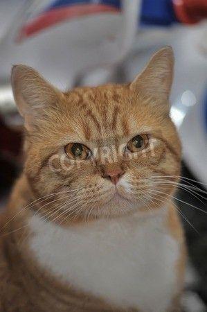 赤と白の大きな猫の肖像画。