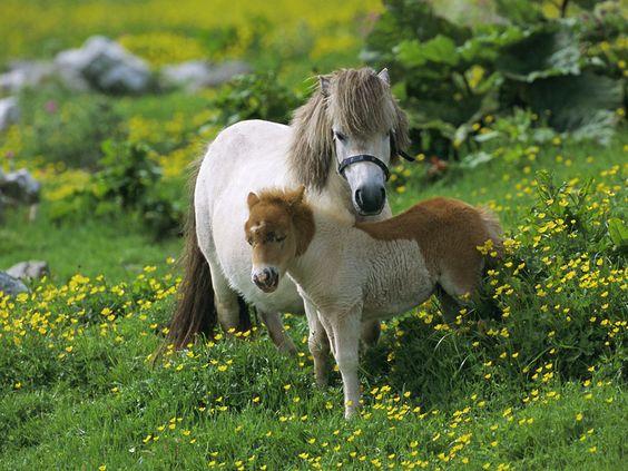 Shetland Ponies, Shetland Islands, Scotland