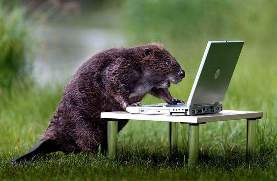 Un castor découvre les joies de l'électronique...