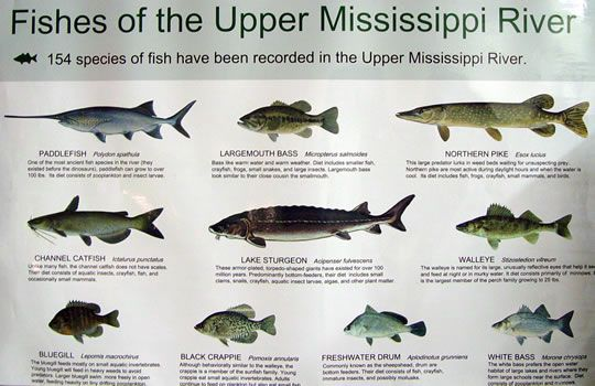 fishes of the upper mississippi river helper pinterest