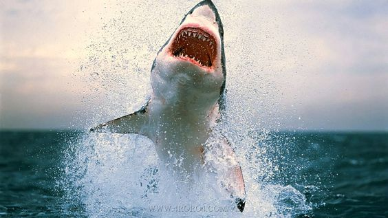 Great White Shark Attack Pictures Shark Attacks Amazing Great - Man fights great white shark sydney harbour jumping cliff