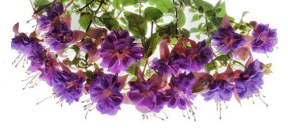 Fuchsia | Flickr - Photo Sharing!