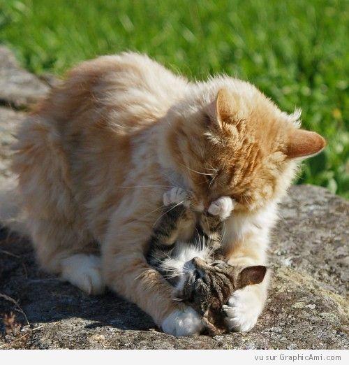 Câlin entre chats.