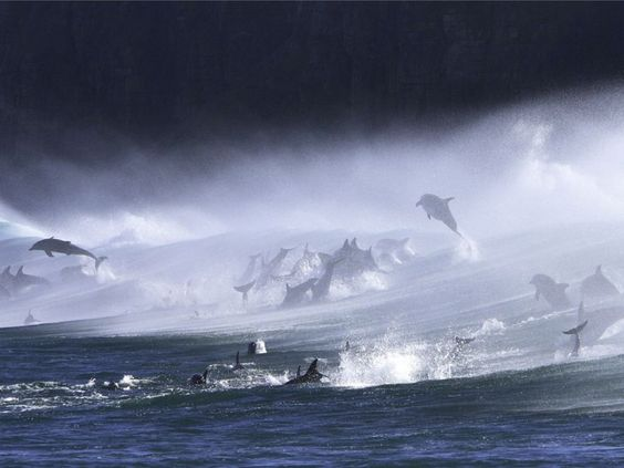 A pod of Bottlenose Dolphins spotted jumping out of, and surfing, big waves off the shore of Waterfall Buff in The Transkei, South Africa