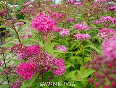 anthony waterer spirea from monrovia is a great labor saving plant while still providing color. Black Bedroom Furniture Sets. Home Design Ideas