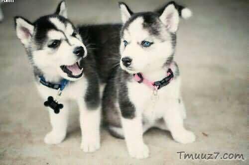 صور كلاب الهاسكى واسعارها Cute Husky Puppies Husky Puppy Cute Husky