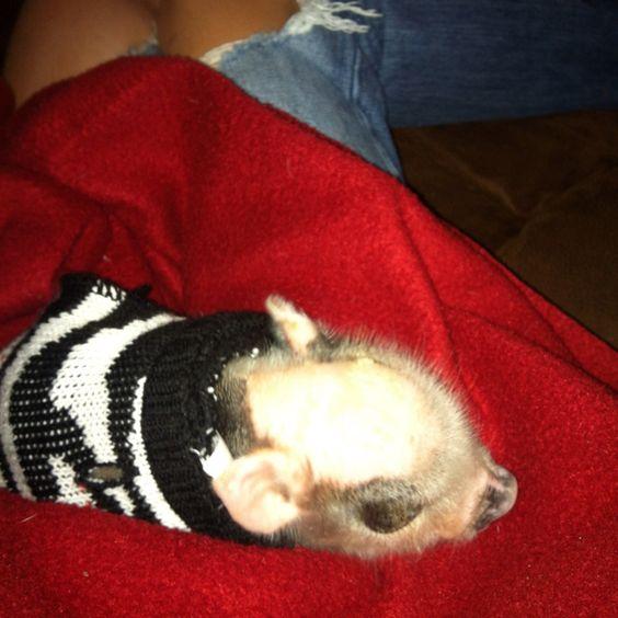 My miniature baby pig Penèlope :)
