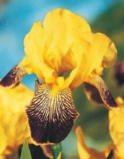 Iris Bulbs Perennial Roots Plant Diy Bonsai Flower Impressive Resistant Rhizomes Bulbs Plants Bulbsplants Planting Bulbs Bonsai Flower Flowers Perennials
