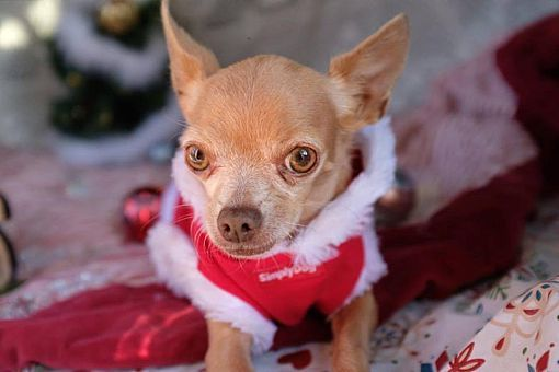 Hamilton On Speial Needs Chihuahua Meet Ducky A Pet For