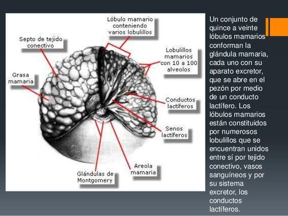 Ecografia mamaria