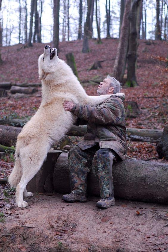 Olha o tamanho deste lobo, nao existe um animal mais bonito que este!