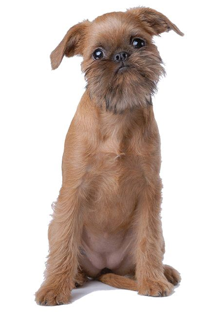 Dogs That Don T Shed The 40 Best Non Shedding Breeds Playbarkrun Dog Breeds Best Dog Breeds Dog Breed Quiz