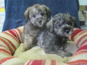 I want a Schnoodle Puppy (Mini Schnauzer-Mini Poodle)