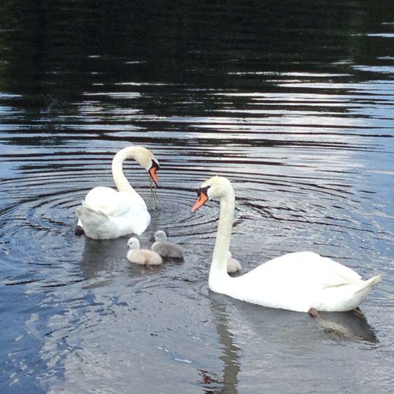 Swans at Lake Garver