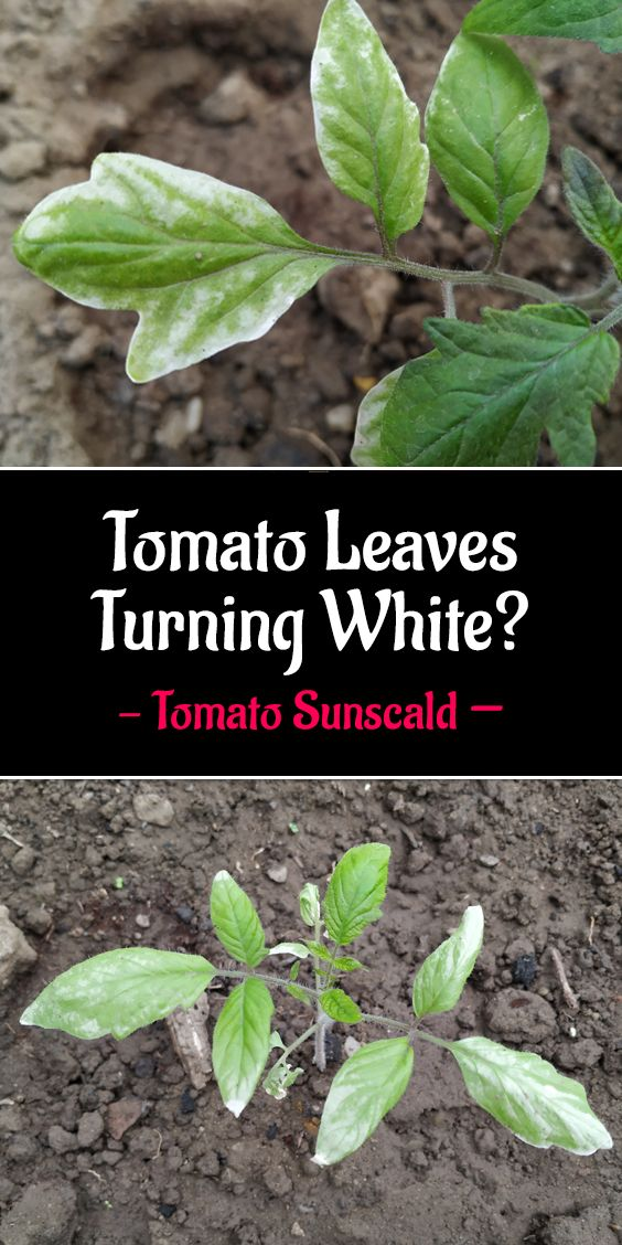 Tomato Plant Leaves Turning White Tomato Sunscald Plant Leaves Turning Tomato Plant Diseases Plant Disease Leaves