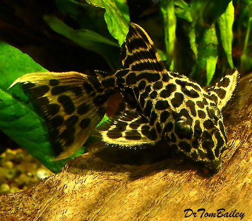 "$33, Premium, New, and Rare Leopardus Pleco, Maximum size: about 10""MAX Scientific name: Pseudacanthicus leopardus, L-114, LDA207, or a closely related species."