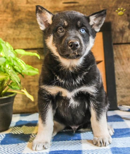 Thatcher German Shepherd Husky Puppy For Sale In Spring Mills Pa Lancaster Puppi Cute German Shepherd Puppies Husky Puppies For Sale German Shepherd Husky
