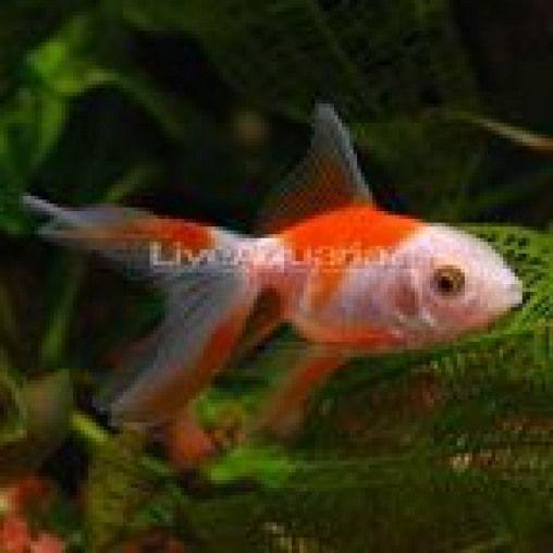 Fancy Goldfish For Sale Live Fancy Goldfish For Aquariums Or Ponds Fishsupplie Aquari Fancy Goldfish For Sale Goldfish For Sale Goldfish