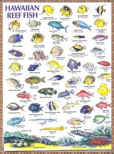 Hawaiian reef fish chart hawaiiian heritage pinterest for Hawaii reef fish
