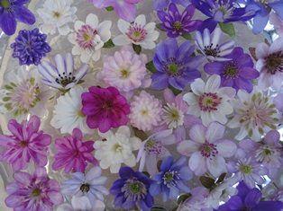 Bovenzicht op kleurrijke verzameling Hepatica bloemhoofdjes, variatie in kleur van wit, lila, roze en paars, en in enkel- of dubbelbloemig, kwekerij Hepatica van Noort.