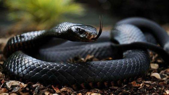 Serpiente mamba negra.TAL COMO APARENTA, SI TE MUERDE TE MATA