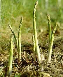 Asparagus beds take a while to establish, but once they're going, you've got fresh asparagus for years.