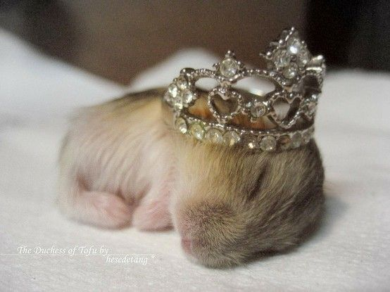 Baby hamster with ring crown. i could just die. cuteness overload.