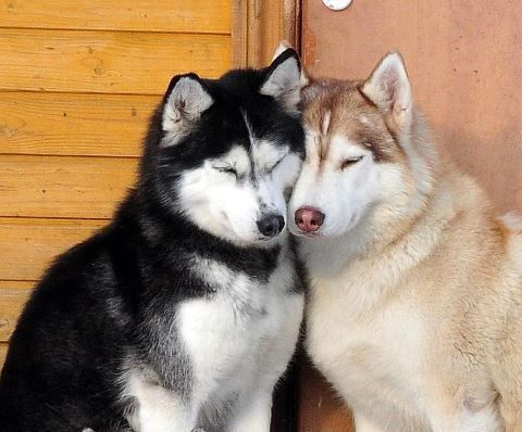 I Love You Husky Puppy Husky, Husky de sib&#2...