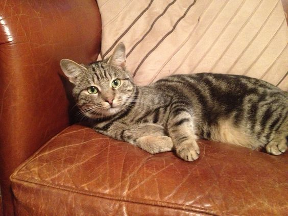 Gorgeous Bob Cat. Now named Jackson BC. Love him to bits. <3