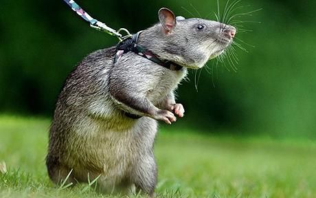 This is Kofi & he has a tough job! Rats could be latest weapon against landmines