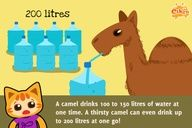 Fun Facts for Kids! Camels can drink a lot of water! #education