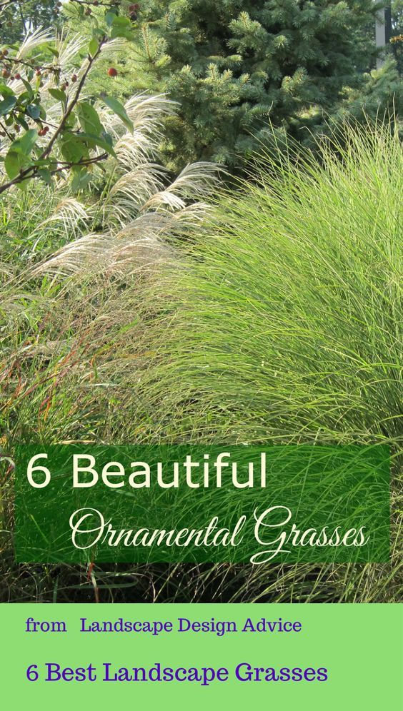 Discover great ornamental grasses beautiful the winter for Maiden fountain grass