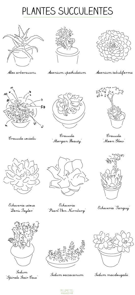 plantes-succulentes-plumetis