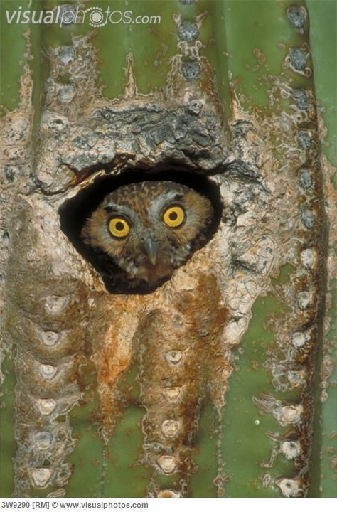 Elf Owl ....Elf Owl  (Micrathene whitneyi) perched in a Saguaro Cactus nest cavity in Sabino Canyon ....  Tucson  ... Arizona.):