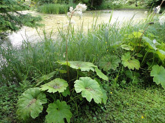 Das Tafelblatt (Astilboides tabularis) erzeugt mit seinen großen, runden Blättern perfekt urig-exotische Wald-Stimmungen